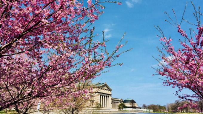 赏樱何必华盛顿?芝加哥赏樱园即将首次盛开